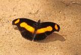 Catonephele chromis