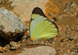 Butterfly Guaysimi3