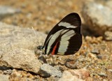 Butterfly Guaysimi4