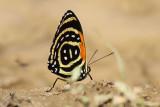 Butterfly Yankuam4
