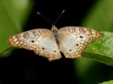 Anartia jatrophe