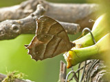 Butterfly Paz-de-las-Antpittas2