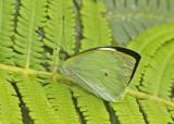 Butterfly Paz-de-las-Antpittas3
