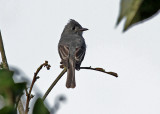 Smoke-coloured Pewee