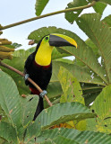 Black-mandibled Toucan