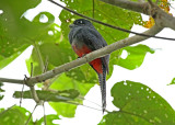 Blue-crowned Trogon