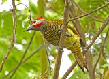 Golden-olive Woodpecker