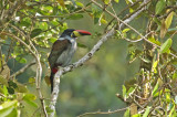 Gray-breasted Mountain-Toucan