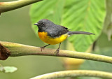 Slate-throated Whitestart