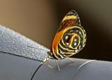 Butterfly-Sani8b.jpg