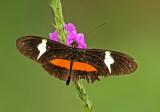 Heliconius clysonymus montanus