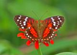 Butterfly-Limoncocha2.jpg