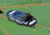 Butterfly-Lumbaqui2.jpg