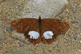 Butterfly Tandayapa valley