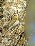 Wood Warbler