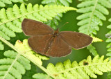 Butterfly Tandayapa