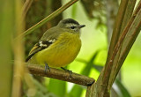 Black-capped Tyrannulet