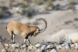 Nubian Ibex, Israel.