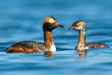 pair-of-horned-grebes-web.jpg