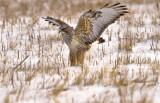 Rough-legged Hawk, a Northern Visitor