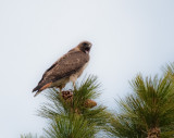 female, Red-tailed Hawk