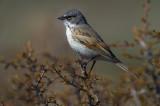Sage Sparrow on Antelope Brush