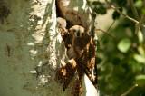 Kestrels at nest