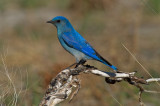 Mountain Bluebird in burned out forest