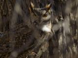 Owl on the Cottonwood
