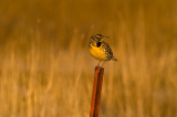 Western Meadowlark after the storm