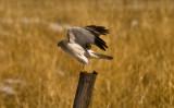 male Harrier Hawk on fencepost