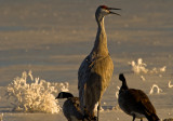 Canadian Geese and Crane
