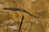 Harrier hunting close to fence line