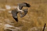 male Harrier Hawk