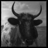 Querno vaca