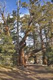 OLD CEDAR TREE.