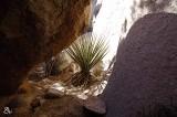 Yucca.