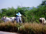 Farm worker and cattle near our resort