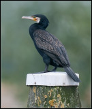 Cormorant / Aalscholver / Phalacrocorax carbo