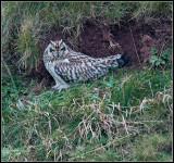 Short-eared Owl / Velduil / Asio flammeus