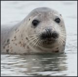 Grey Seal / Grijze Zeehond / Halichoerus grypus