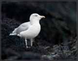 Herring Gull / Zilvermeeuw / Larus argentatus