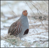Partridge / Patrijs