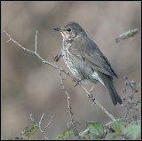 Song thrush / Turdus philomelos / Zanglijster
