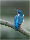 Kingfisher / IJsvogel / Alcedo atthis