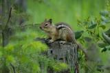 Gold-manteled Ground Squirrel