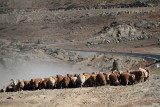 XinJiang -  Herd Transfer Sep 10