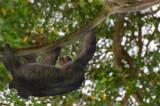 Three Toe Sloth On Quest ! Manuel Antonio National Park