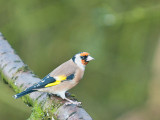 4876 Goldfinch VF 061111.jpg