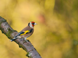 4913 Goldfinch VF 061111.jpg